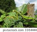 台灣大刀螳 日本巨螳螂 虫子 3364444