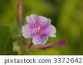四點整 秘魯的奇蹟 紫茉莉 3372642