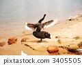 นก,หงส์,ชายฝั่งทะเล 3405505