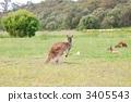 จิงโจ้,สัตว์,ภาพวาดมือ สัตว์ 3405543