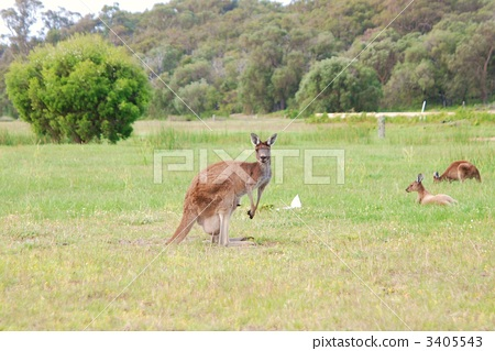 kangaroo, kangaroos, animal 3405543