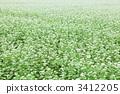 Buckwheat field 3412205