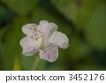 四點整 秘魯的奇蹟 紫茉莉 3452176
