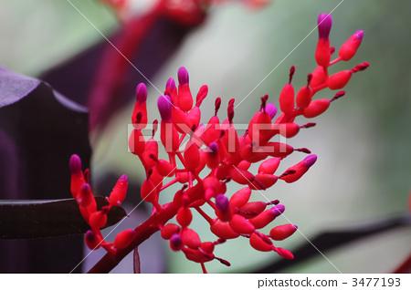珊瑚鳳梨 3477193