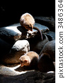 terrestrial animal, dwarf mongoose, small animal 3486364