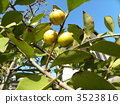 Tropical fruits of yellow ripe fruit fruit tree 3523816