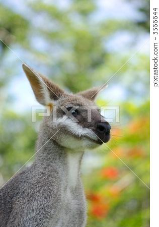 Kangaroo face 3566644