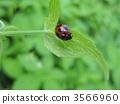七星瓢虫 瓢虫 虫子 3566960