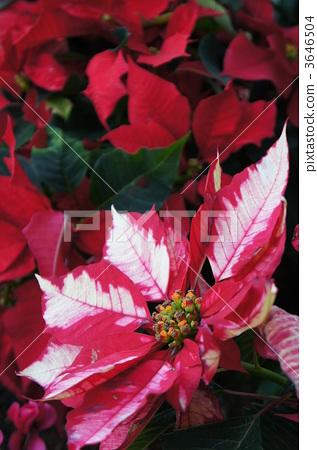 포인세티아, 관엽 식물, 선명하다 3646504