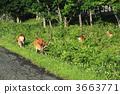 hokkaido, deer, cervus 3663771