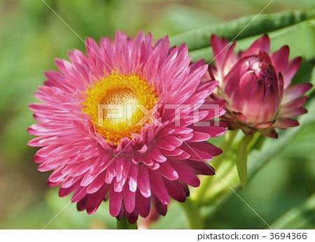 gynoecium, marigold, bloom 3694366