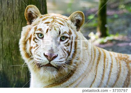Albino tiger 3733797