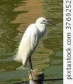 egret, little, white 3769252