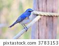 冬候鳥 蛛蛛 藍鳥 3783153