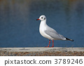 black-headed, gull, migratory 3789246