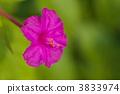 四點整 秘魯的奇蹟 紫茉莉 3833974