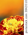 In marigold 3842010