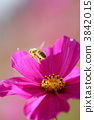 Cosmos and honey bees 3842015