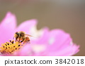 Cosmos and honey bees 3842018