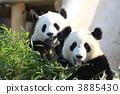 panda, pandas, twin 3885430