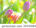 ดอกไม้ฤดูหนาว,ดอกไม้,ทิวลิป 3906484