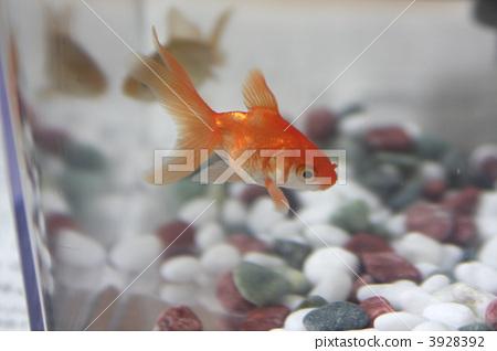 Ryukin taken with goldfish scoop 3928392