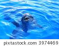 海豚 海洋动物 游泳 3974469