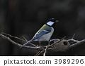resident, bird, titmouse 3989296