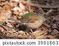 冬候鳥 白腹鶇 野生鳥類 3991863