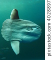 sea, animals, sunfish 4028897