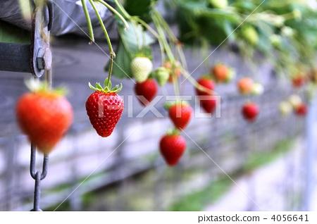 sachinoka, strawberries, strawberry 4056641