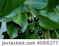 樟木 樟脑树 种子 4066277