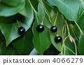 樟木 樟腦樹 漿果 4066279
