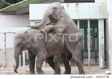 코끼리의 짝짓기 4095758