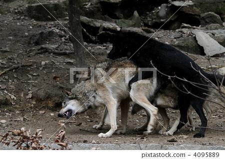 늑대 짝짓기 4095889
