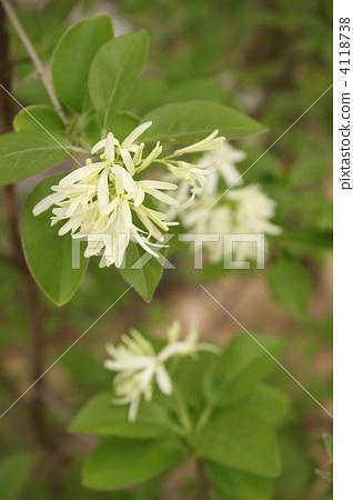 Flower of Nanja Monja 4118738
