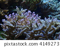 Coral (coral) 4149273