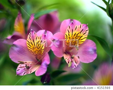 Alstroemeria (Julia) 4151593