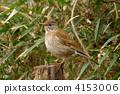 白腹鶇 冬候鳥 野生鳥類 4153006
