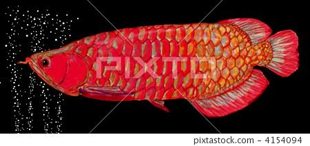 亚洲龙鱼 金龙鱼 热带鱼 4154094
