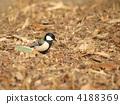 resident, bird, great 4188369