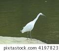 heron, little, egret 4197823