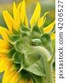 向日葵和雨蛙 4206527