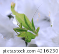 grasshopper, insect, bug 4216230