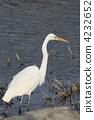 egret, white, heron 4232652