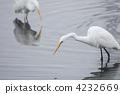egret, white, heron 4232669