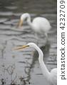 egret, white, heron 4232709