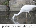 white, heron, great 4232711