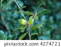 phillyraeoides, nuts, acorn 4274721