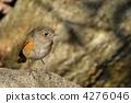 西伯利亞bluechat 候鳥 冬候鳥 4276046